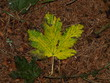 A fényképek részletei yellow-green maple leaf on brown needles