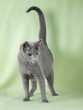 Dettagli della fotografia kitten breed russian blue on a green background