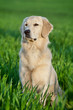 Detalii fotografie portrait of a beautiful young dog  golden retriever