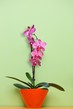 Detalii fotografie pink orchid in a pot on green background