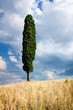 Dettagli della fotografia cypress with blue sky and wheat