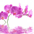 Image details pink orchid on white background with reflection