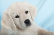Detalii fotografie beautiful small puppy on blue background  golden retriever
