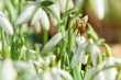 Detalii fotografie spring snowdrop flowers in a garden with bee