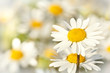 Detalii fotografie close up of white marguerite flowers with shallow focus
