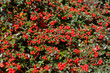 Detalii fotografie autumn natural background with red gaultheria