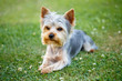 Detalii fotografie cute small yorkshire terrier on a green lawn outdoor no people
