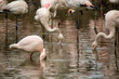 Detalii fotografie beautiful pink american flamingos in water phoenicopterus roseus