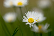 Detalii fotografie small daisy flower on green lawn with shallow focus
