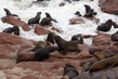 A fényképek részletei huge colony of brown fur seal arctocephalus pusillus in cape cross namibia wide angle view true wildlife photography