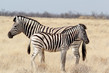 Detalii fotografie zebra foal with mother in african bush etosha national park ombika kunene namibia true wildlife photography
