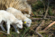 A fényképek részletei sheep with small lamb on rural farm lamb is easter holiday symbol