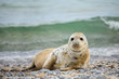 Dettagli della fotografia young atlantic grey seal baby halichoerus grypus on the beach of island helgoland dune germany in spring