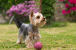 A fényképek részletei cute small yorkshire terrier is plaing with ball on a green lawn outdoor cute small pet