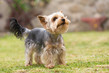 A fényképek részletei cute small yorkshire terrier is plaing green lawn outdoor cute small pet lovely small species of dog