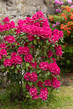 Detalii fotografie pink red azaleas blooms with small evergreen leaves in springtime garden spring beautiful flower