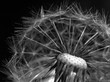 Detalii fotografie dandelion fluff on a dark background