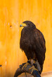 Dettagli della fotografia the harriss hawk or harris hawk parabuteo unicinctus formerly known as the baywinged hawk or dusky hawk in captivity falconry bird trained for hunting