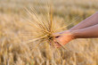 Detalii fotografie wheat ears barley in the woman hand harvest agriculture summer concept woman hand with golden cereal