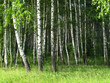 Detalii fotografie birch trees in a summer forest