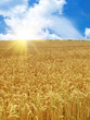 Dettagli della fotografia grain field under beautiful sky with sun