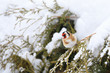 Detalii fotografie small colored european goldfinch or goldfinch carduelis carduelis in winter garden in snowy day europe czech wildlife