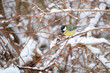 Detalii fotografie beautiful small bird great tit parus major bird sitting on the tree branch covered by snow in winter garden