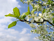 Dettagli della fotografia branch of a blossoming tree with white flowers on blue sky background