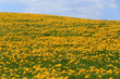 Detalii fotografie field of spring dandelions dandelion meadow on small hill against blue sky with clouds beautiful countryside
