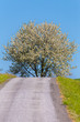 Detalii fotografie road with tree in bloom white cherry flower on tree in rural countryside beautiful countryside background czech highland countryside