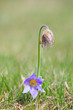 Detalii fotografie blooming and faded blossom of purple little furry pasqueflower pulsatilla grandis blooming in spring czech republic