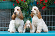Detalii fotografie english cocker spaniel family posing in summer garden