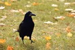A fényképek részletei beautiful picture of a bird  raven  crow in autumn nature