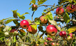 Dettagli della fotografia branches of an appletree with ripe red apples in the sunny day