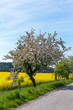 Detalii fotografie road with tree in bloom white apple flower on in rural countryside