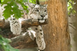 Detalii fotografie beautiful cat snow leopard  irbis uncia uncia endangered species in world