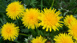 Detalii fotografie bright yellow dandelion flowers closeup
