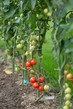 Detalii fotografie gradually ripening tomatoes in the field