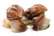 Detalii fotografie africa snails isolated on the white background