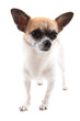 Detalii fotografie small chihuahua isolated on the white background