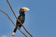 Detalii fotografie big bird silverycheeked hornbill bycanistes brevis sits on tree against blue sky ethiopia africa wildlife