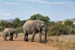 Detalii fotografie female of african elephant mother with baby crossing road in pilanesberg game reserve south africa wildlife safari