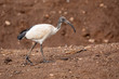 A fényképek részletei the african sacred ibis on ground threskiornis aethiopicus common bird throughout the african continent ethiopia safari wildlife