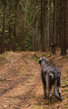 Image details irish wolfhound giant gray dog ​​on a forest path