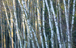 Detalii fotografie birch forest closeup of tree trunk wall of birch trees natural landscape in winter without snow and frost in sunny day