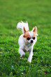 Detalii fotografie small long hair chihuahua in the green grass