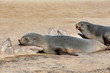 Detalii fotografie resting animal brown fur seal in cape cross namibia safari wildlife