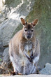 Detalii fotografie cute and beautiful rednecked wallaby australian animal kangaroo macropus rufogriseus