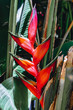 Detalii fotografie beautiful red heliconia flowering plants in the monotypic family heliconiaceae ethiopia wilderness