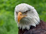 Photo bald eagle
